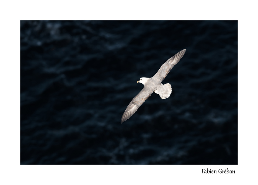 fulmar en vol