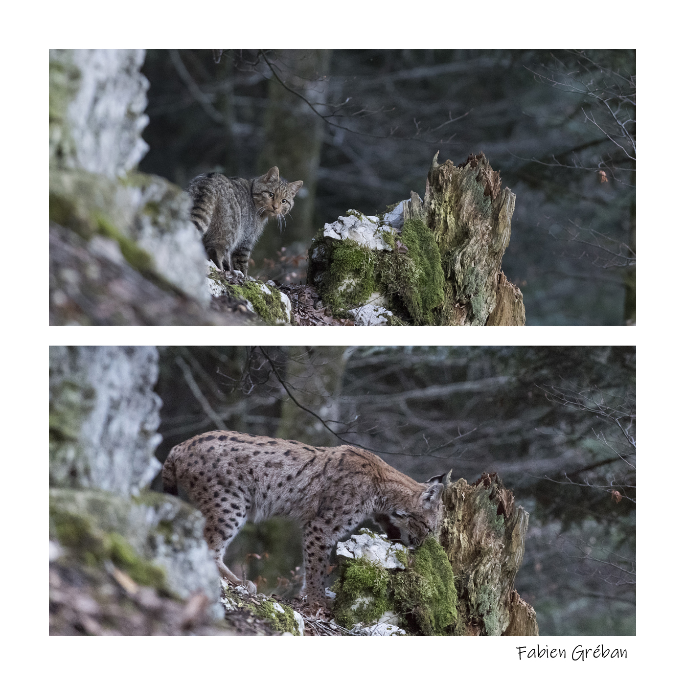 chat forestier et lynx